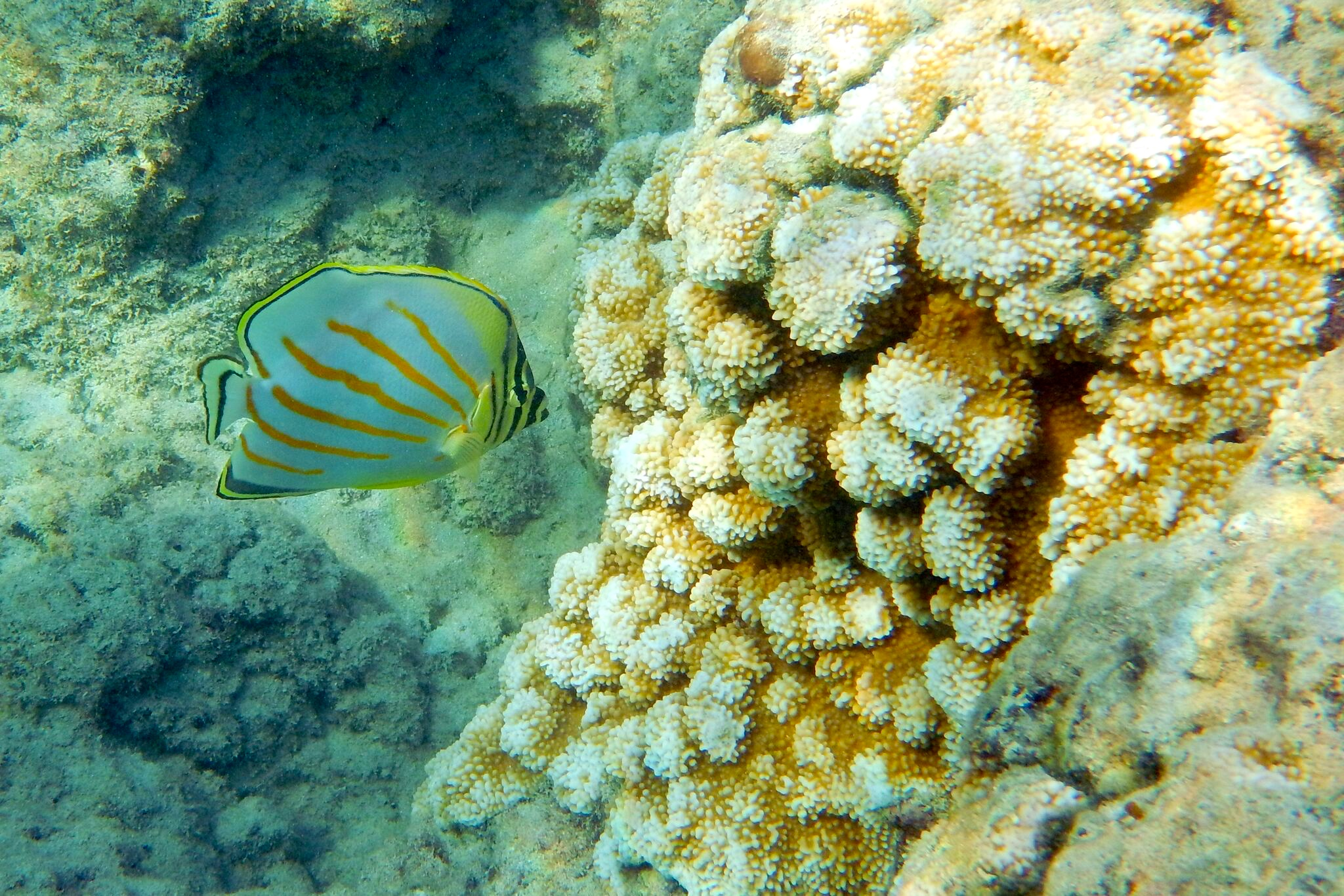 160410_Ornate Butterflyfish kīkākapu Hanauma Bay
