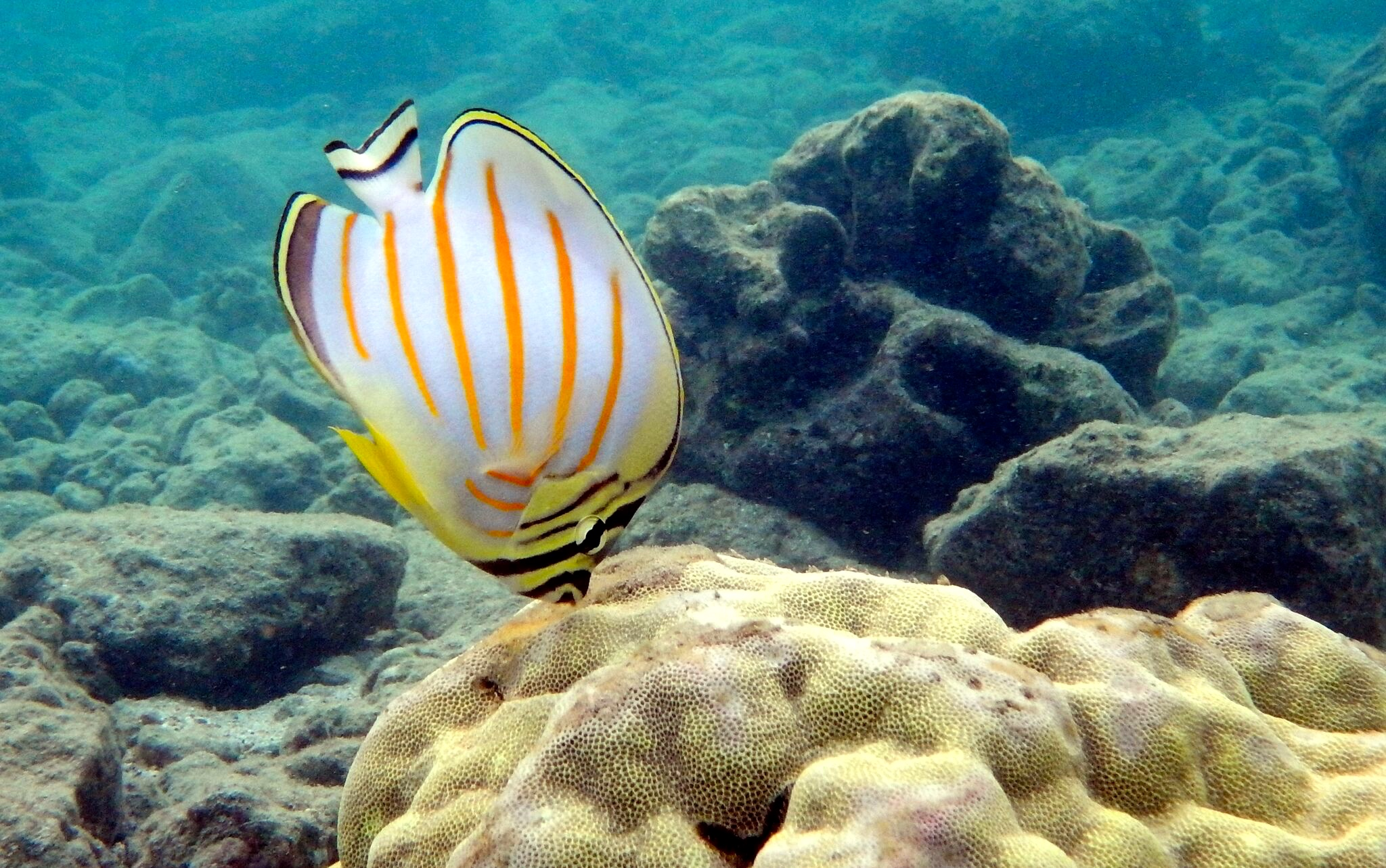 161013_Ornate Butterflyfish kīkākapu Hanauma Bay2