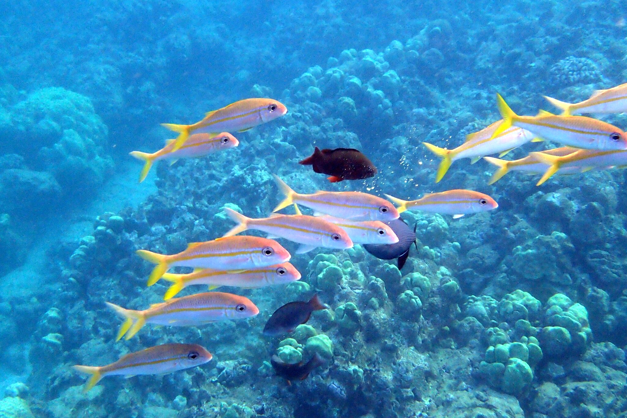 171029_Yellowfin Goatfish weke 'ula at Ali'i Hanauma Bay